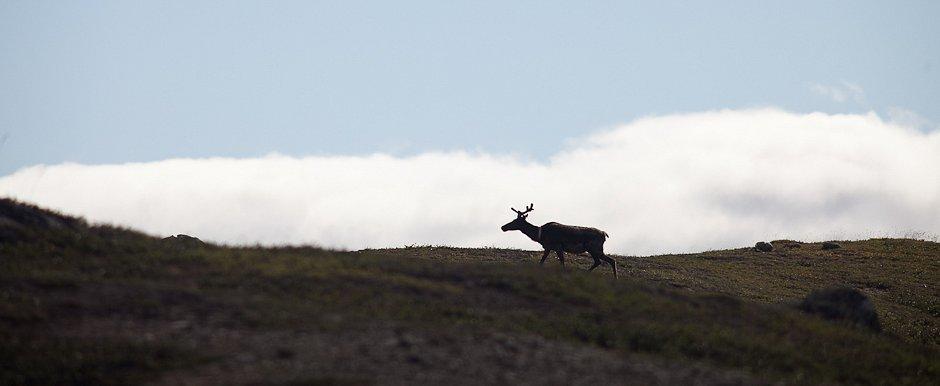 Caribou, Sarek's Nationalpark - Sweden
